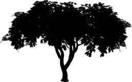 Het silhouet van Poinciana. Stock Foto