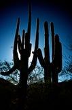 Het Silhouet van Saguaro Stock Foto