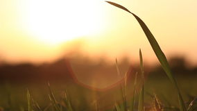 Het silhouetfilm van het zonsonderganggras Stock Afbeeldingen
