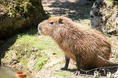 Het situeren Capybara Stock Foto