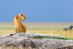 Het situeren van Alleen Simba Royalty-vrije Stock Foto's