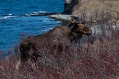 Het sjofele kijken stierenamerikaanse elanden die de ruwe Canadese winter overleven Stock Afbeeldingen
