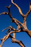 Het skelet van de boom Stock Fotografie