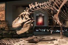 Het skelet van de dinosaurus Stock Afbeeldingen