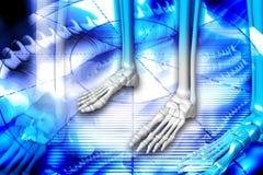 Het skelet van de voet vector illustratie