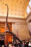 Het skelet van dinosaurusdino in het Amerikaanse Museum van New York NYC van Biologie Stock Afbeelding
