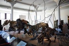 Het skelet van dinosaurusdino in het Amerikaanse Museum van New York NYC van Biologie Royalty-vrije Stock Foto's