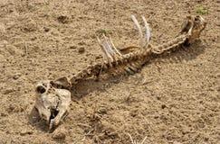 Het skelet van Rajasthan Royalty-vrije Stock Foto