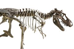 Het skelet van tyrannosaurusrex op geïsoleerde achtergrond royalty-vrije stock foto's