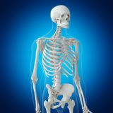Het skeletachtige hogere lichaam royalty-vrije illustratie