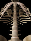 Het skeletachtige hogere lichaam vector illustratie