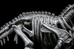 Het skeletmodel van de Brontosaurusdinosaurus, torso royalty-vrije stock foto's