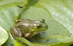 Het slaan Groene kikker Royalty-vrije Stock Afbeeldingen