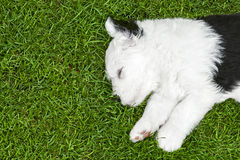 Het slaappuppy Stock Foto's