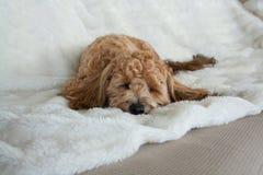 Het slaappuppy Royalty-vrije Stock Afbeeldingen