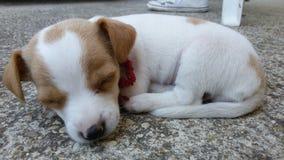 Het slaappuppy Stock Foto