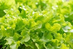 Het slalandbouwbedrijf, Groene slainstallaties in de groei bij gebied, Verse sla gaat weg stock afbeeldingen