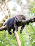 Het slapen bearcat Stock Foto's