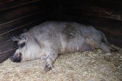 Het slapen curley-haired varken stock afbeeldingen