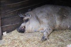 Het slapen curley-haired varken stock foto