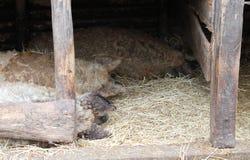 Het slapen curley-haired varkens royalty-vrije stock afbeelding