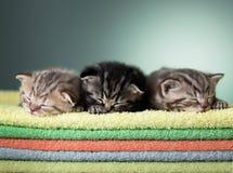 Het slapen drie Schots katje op stapel handdoeken Stock Fotografie