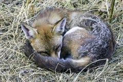 Het slapen Europese rode die vos in mijn tuin wordt bevlekt - Londen, het Verenigd Koninkrijk royalty-vrije stock afbeelding