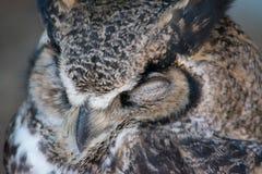 Het slapen Grote Gehoornde Uil & x28; Bubo virginianus& x29; , ook gekend als royalty-vrije stock foto's