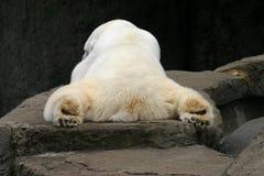 Het slapen Ijsbeer Stock Afbeeldingen