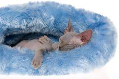 Het slapen kale Sphynx in blauw bed Royalty-vrije Stock Fotografie