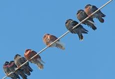 Het slapen kleurrijke duiven op draad Stock Fotografie