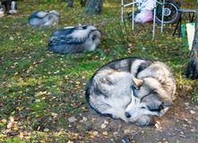 Het slapen Malamute Van Alaska Royalty-vrije Stock Afbeeldingen