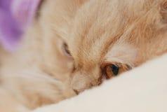 Het slapen Perzische kat Stock Foto's