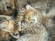 Het Slapen van de Welpen van de jachtluipaard Stock Foto's