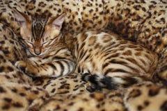 Het slapen van weinig kat van Bengalen Stock Fotografie