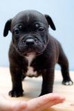Het slaperige Staffordshire puppy van de Terriër van de Stier - 2 weken Royalty-vrije Stock Afbeeldingen