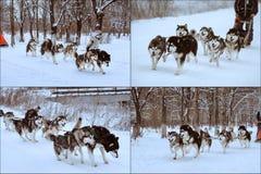 Het sledding ras van de hond royalty-vrije stock afbeeldingen
