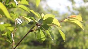 Het slingeren in de tak van de windboom stock videobeelden