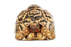 Het Slordige Gezicht van de luipaardschildpad stock foto