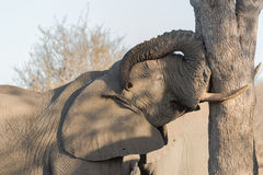 Het sluimeren stierenolifant, Balule-Reserve, Zuid-Afrika Stock Foto's