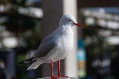 Het sluiten omhoog van de status van zeemeeuwvogel in stedelijk milieu royalty-vrije stock foto