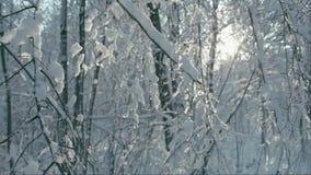 Het smelten stukken van sneeuw op takken stock footage