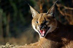 Het snauwen Cacaral of Afrikaanse lynx Stock Afbeelding
