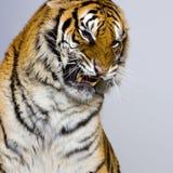 Het Snauwen van de tijger royalty-vrije stock foto's