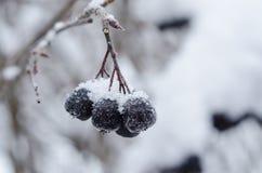 Het sneeuw zwarte bessencluster hangen Royalty-vrije Stock Fotografie