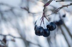 Het sneeuw zwarte bessencluster hangen Royalty-vrije Stock Foto's