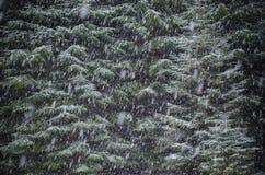 Het sneeuwt op een achtergrond van groene sparrenkroon Royalty-vrije Stock Foto's