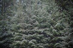 Het sneeuwt op een achtergrond van groene sparrenkroon Stock Fotografie