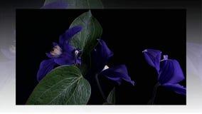 Het snelle bloeien van blauwe bloem stock footage