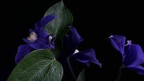 Het snelle bloeien van blauwe bloem stock video